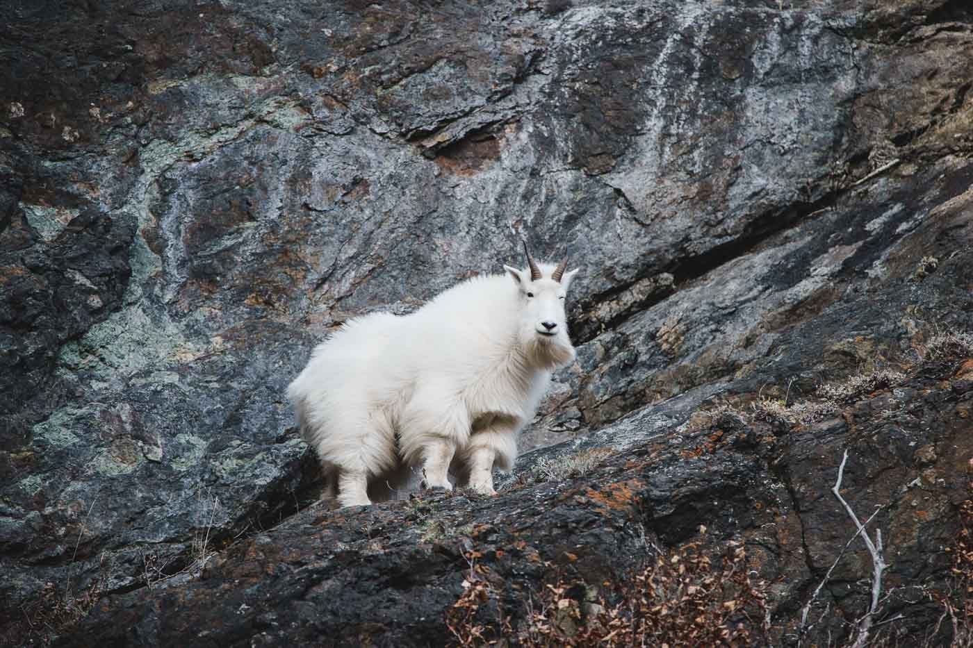 Mountain Goat in Alaska with the Tamron 150-600mm f/5-6.3