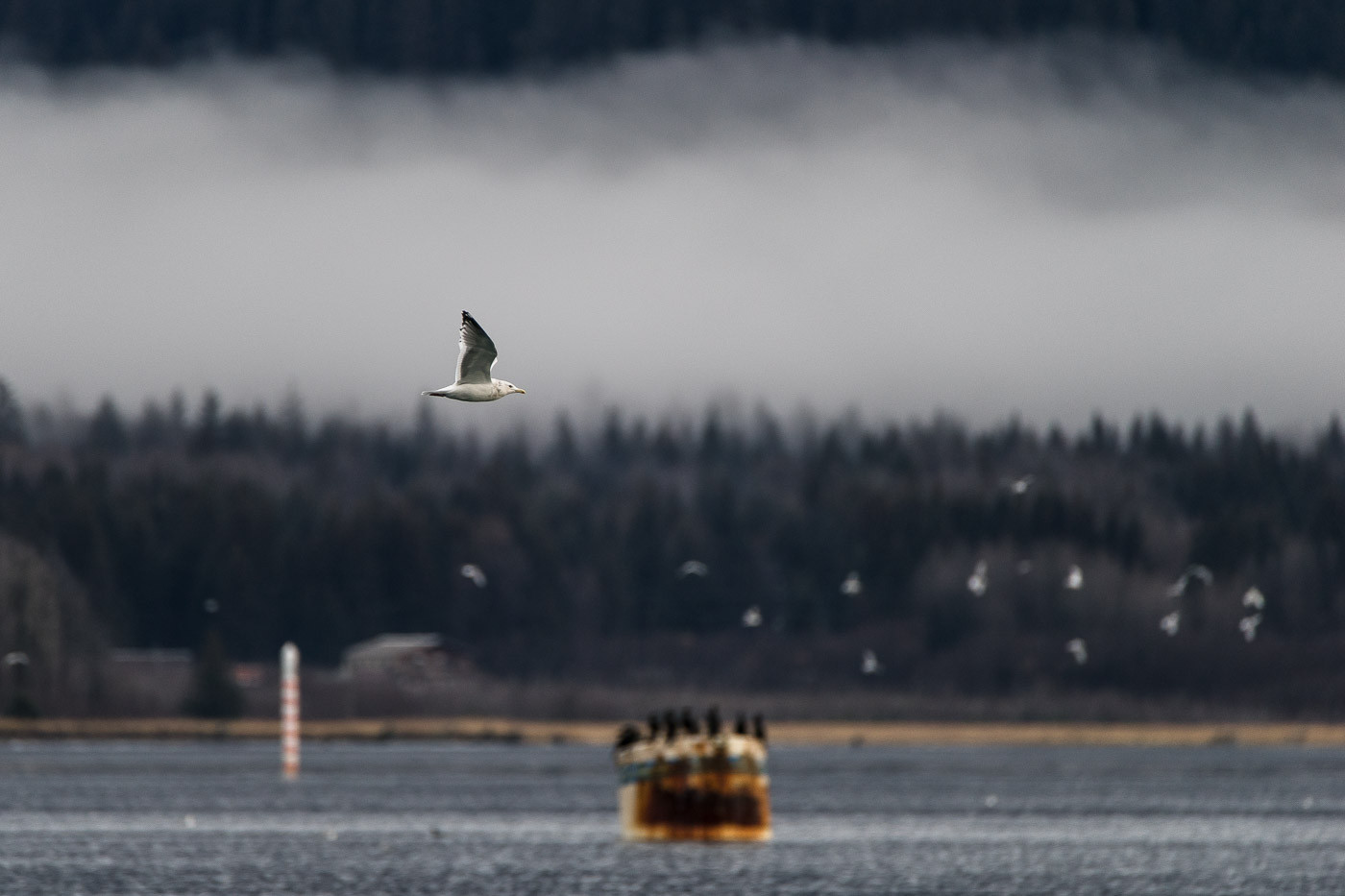 Herring Gull in Alaska with the Tamron 150-600mm f/5-6.3