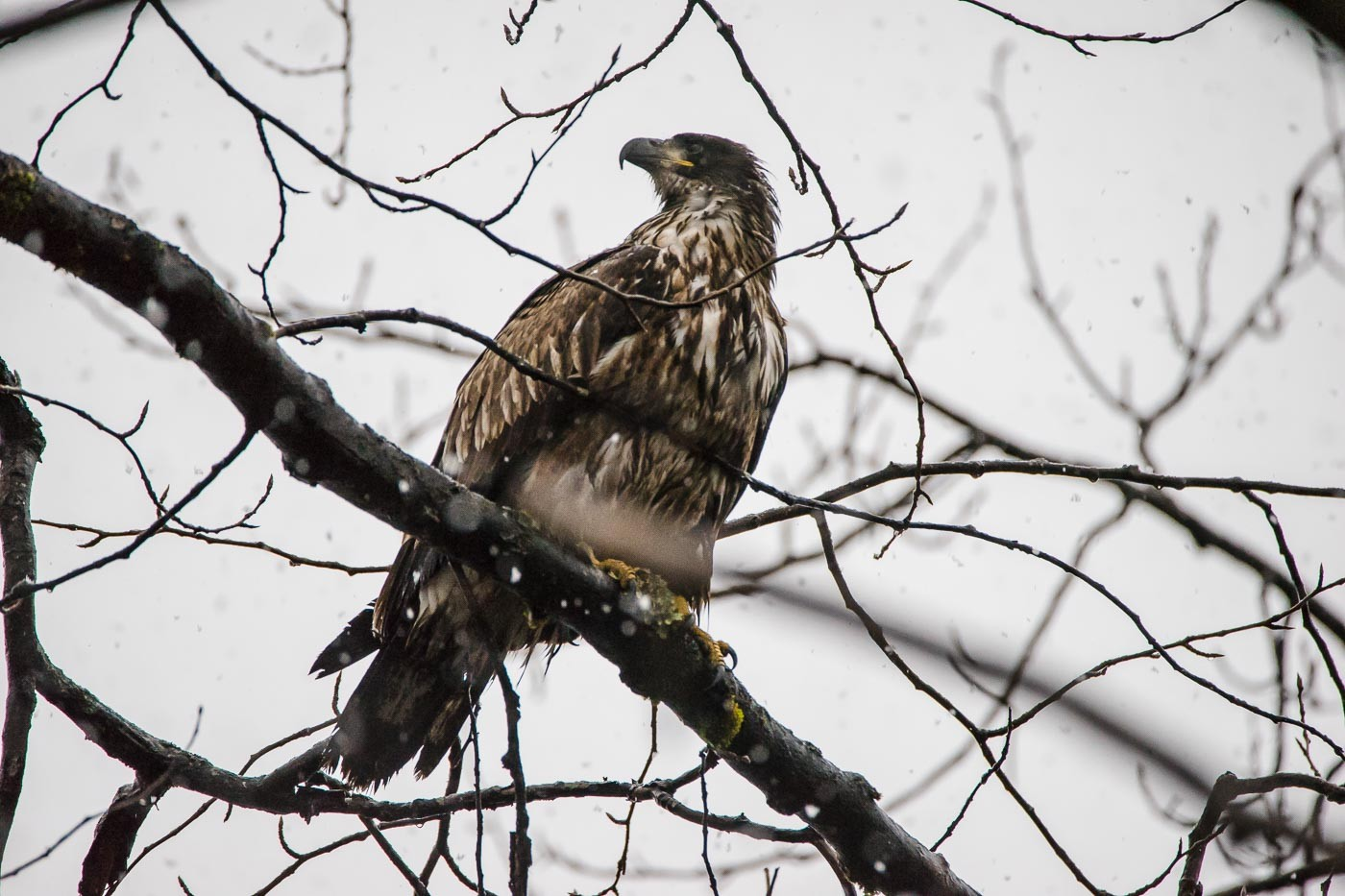 Juvenile Bald Eagle in Alaska with the Tamron 150-600mm f/5-6.3