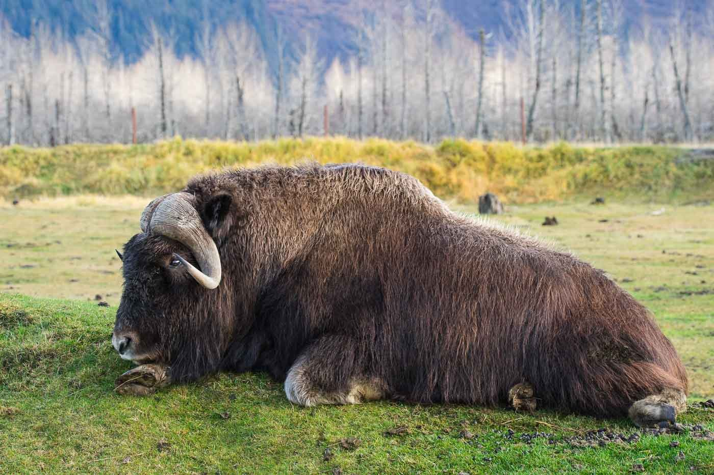 Musk Ox in Alaska with the Tamron 150-600mm f/5-6.3