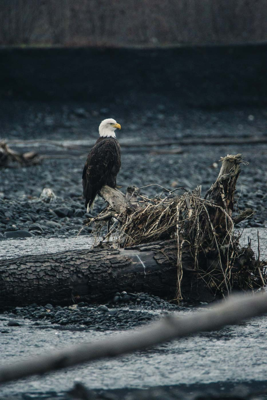 Bald Eagle in Alaska with the Tamron 150-600mm f/5-6.3
